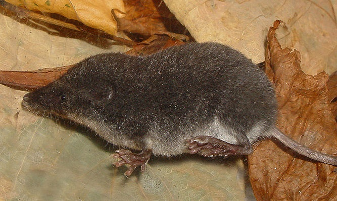 Il pipistrello il riccio la talpa il bradipo e il for Talpa mammifero