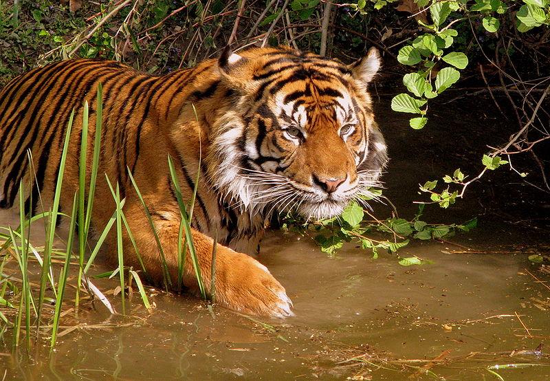 Il cane il gatto la tigre il lupo l 39 orso il panda e for Disegni delle tigri
