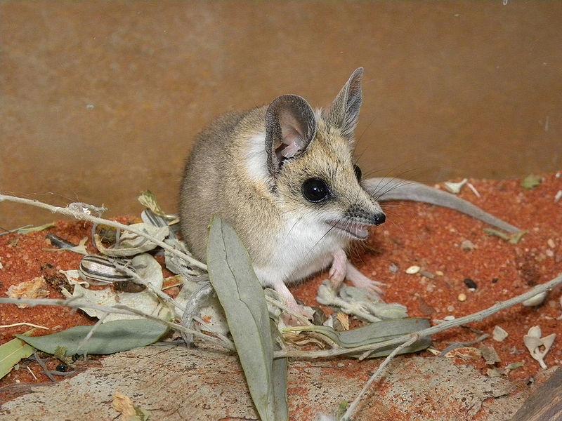 Marsupiali d'Australia...